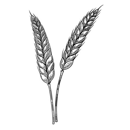 Illustration of wheat spikelet in engraving style. Design element for label, sign, emblem, poster. Vector illustration