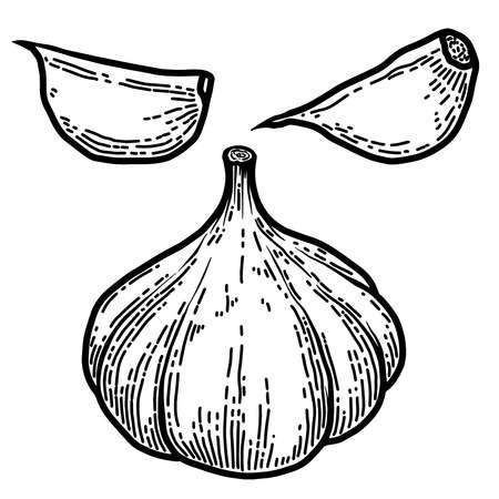 Set of illustration of garlic in engraving style. Design element for logo, label, emblem, sign, badge. Vector illustration