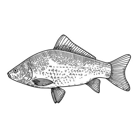 Illustration of crucian fish in engraving style. Design element for logo, label, sign, poster, t shirt. Vector illustration Çizim