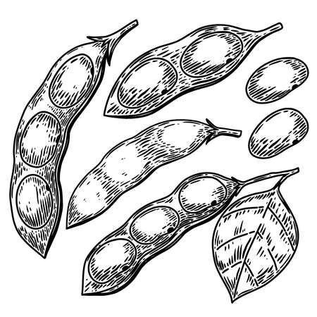 Illustration of soybeans, soya bean pods in engraving style. Design element for logo, label, emblem, sign, badge. Vector illustration Ilustracja