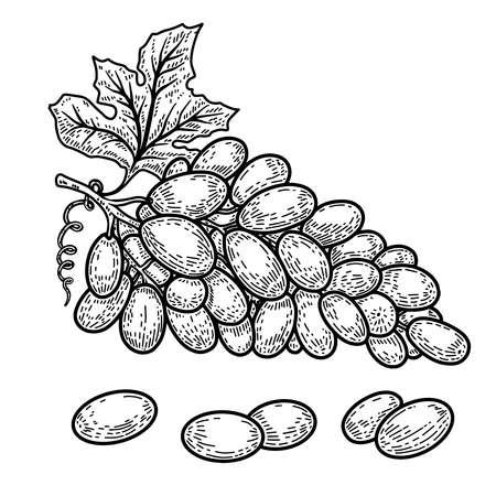 Illustration of grapes in engraving style. Design element for logo, label, emblem, sign. Vector illustration