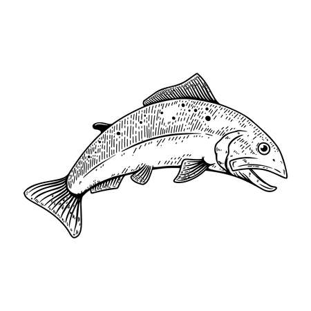 Set of illustrations of salmon fish in engraving style.