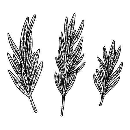 Set of illustrations of rosemarine in engraving style. Design element for  emblem, sign, poster, card, banner. Vector illustration