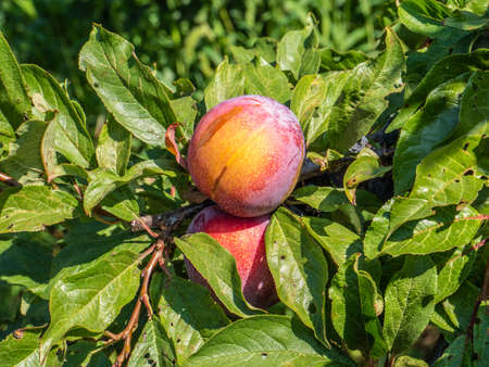 Natural fruits. Ripe plums on the tree in the farm garden Imagens