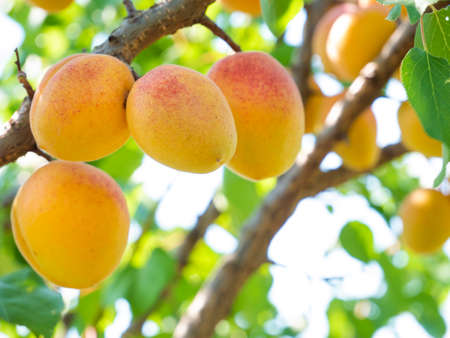 Natural fruits. Ripe apricots on the tree in the farm garden