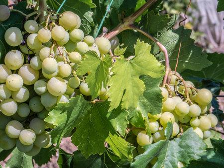 Natural fruits. Grapes on a bush in a farm garden Imagens