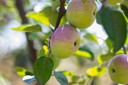 Natural fruit. Apples on the branches of an apple tree