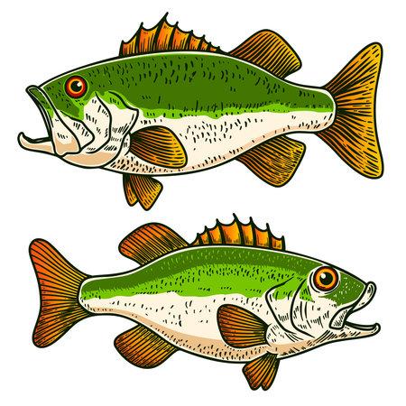 Illustrations of bass fish in engraving style. Design element for poster, card, banner, sign, emblem. Vector illustration Ilustração