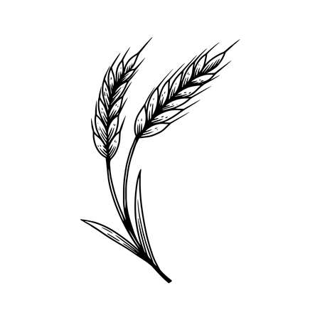Illustration of wheat spikelet in engraving style. Design element for poster, card, banner, sign. Vector illustration