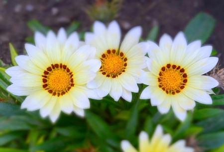 meadow flowers in miniature effect, Gazania Aster