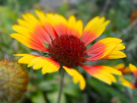 meadow flowers in miniature effect, Gaillardia Aster Фото со стока