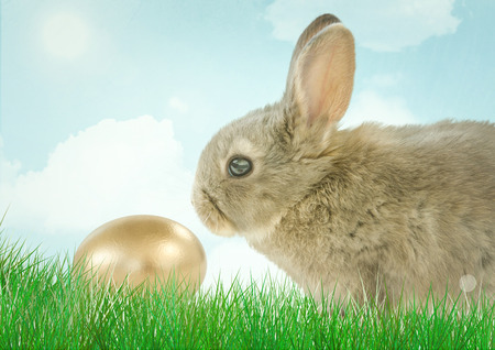 brown egg: Digital composite of Brown rabbit with golden egg