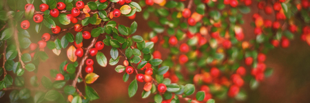 Close up of berries growing on branch