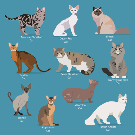 Set of flat sitting or walking cute cartoon cats. Popular breeds Abyssinian,  Birman, Exotic Shorthair, Norwegian Forest, Ceylon, Turkish Angora, Manchkin, Balinez, American Shorthair, Devon Rex. Flat style design isolated icons. Vector illustration.
