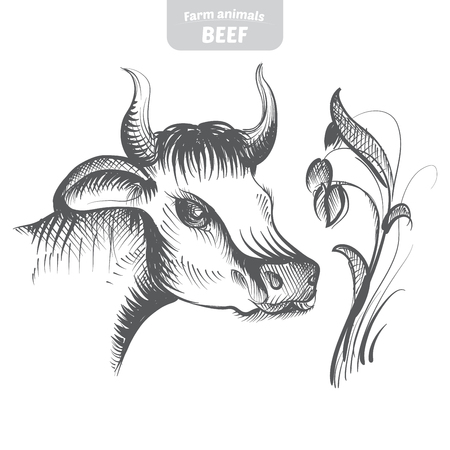 holstein: Head pattern cow in a graphic style, hand-drawn vector illustration.