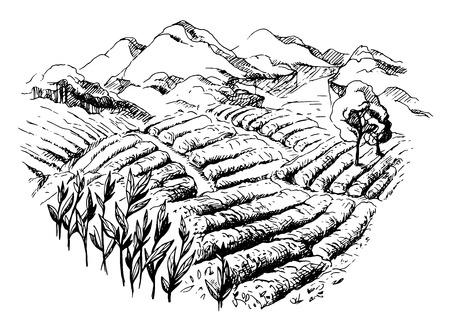 tea plantation landscape in graphic style hand-drawn vector illustration.