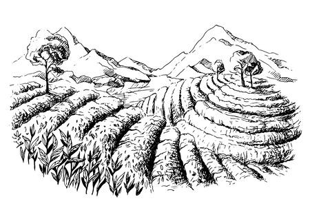 tea plantation landscape in graphic style hand-drawn vector illustration. Vetores