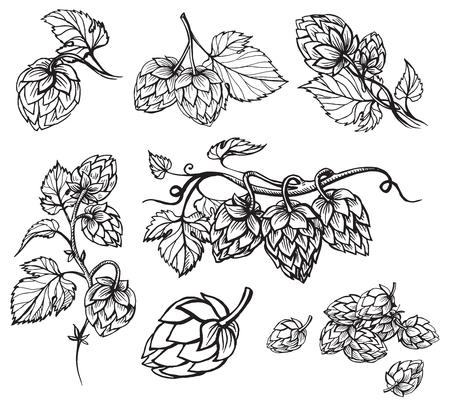 Hand getrokken gravure stijl Hop ingesteld. Gemeenschappelijke hop of Humulus-lupulustak met bladeren en kegels. Vector illustratie