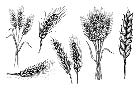 Collection set of wheat ears hand drawings vector illustration sketch Иллюстрация