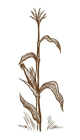Hand drawn vector illustration standing stalk of corn sketch