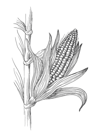 Hand drawn vector illustration of corn grain stalk sketch Ilustração