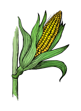 stalk: Hand drawn vector illustration of corn grain stalk sketch Illustration