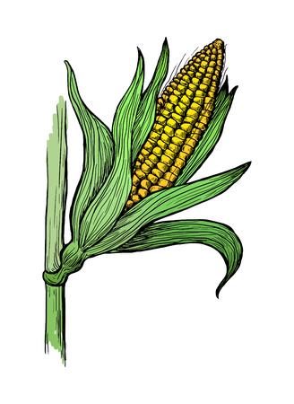 Hand drawn vector illustration of corn grain stalk sketch Illustration
