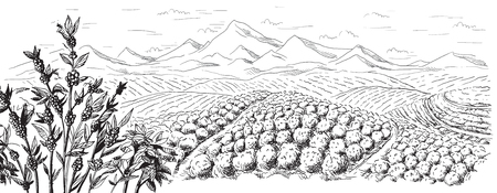 coffee harvest: coffee plantation landscape in graphic style hand-drawn vector illustration.