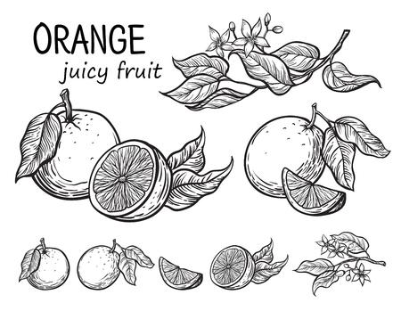 오렌지 세트 손으로 그린 스케치 음식 그림.