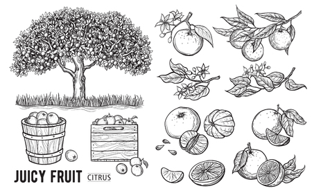 Set oranges hand drawn sketch food illustration in vintage style.