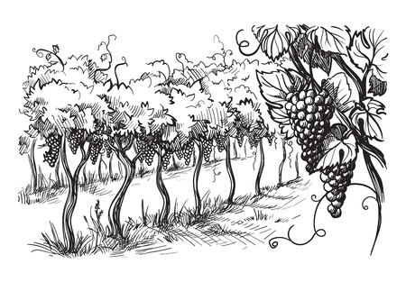 Rows of vineyard grape plants in graphic style, hand-drawn vector illustration. Vectores
