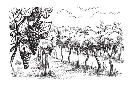 Rijen wijngaard druivenplanten in grafische stijl, handgetekende vectorillustratie. Stock Illustratie