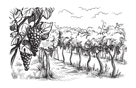 Rows of vineyard grape plants in graphic style, hand-drawn vector illustration. Illustration