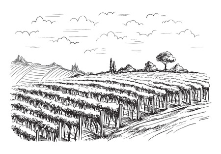 Rows of vineyard grape plants in graphic style, hand-drawn vector illustration. 矢量图像