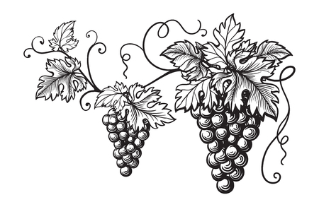 ブドウ モノクロ スケッチのセットです。手描きぶどうを房します。  イラスト・ベクター素材