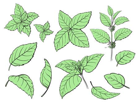 Mint Hand Skizze Vektor-Illustration . Pfefferminze gravierte Zeichnung von Blättern isoliert auf weißem Hintergrund . Grüne Minze Pflanze Pflanze