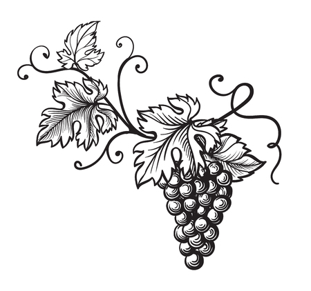 Conjunto de uvas monocromo bosquejo. Mano, dibujado, uva, racimos Foto de archivo - 78526993