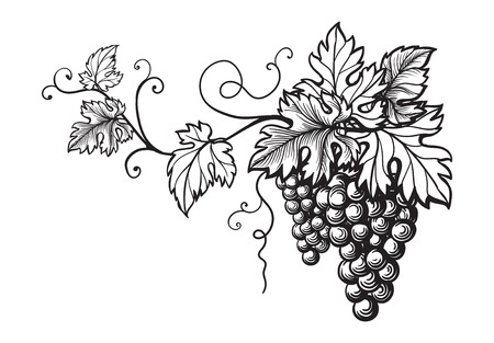 Set of grapes monochrome sketch. Hand drawn grape bunches. Stock Photo