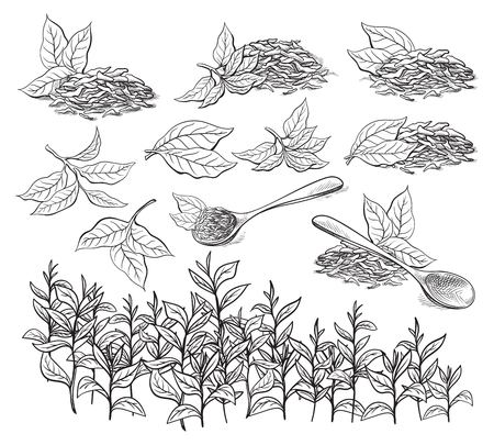 tea plantation: Collection of tea leaves. Green, black, Pekoe tea in graphic style, hand-drawn vector illustration.