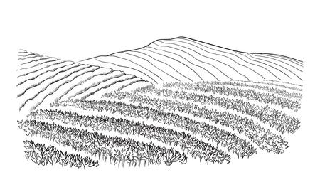 Paesaggio della piantagione di tè in stile grafico, illustrazione vettoriale disegnato a mano.