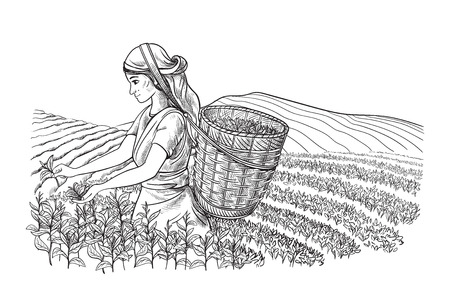A woman in traditional clothes collects tea leaves on a a tea plantation, fields. Tea Picker. Hand-drawn vector illustration line sketch Ilustracja