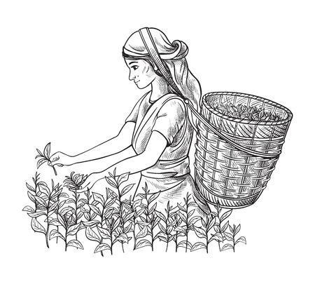 Une femme dans les vêtements traditionnels recueille des feuilles de thé sur une plantation de thé, des champs. Tea Picker. Illustration dessinée à la main