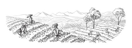 Een vrouw in traditionele kleding verzamelt theebladen op een theeaanplanting, gebieden. Theeplukker. Handgetekende vector illustratie lijn schets Stock Illustratie