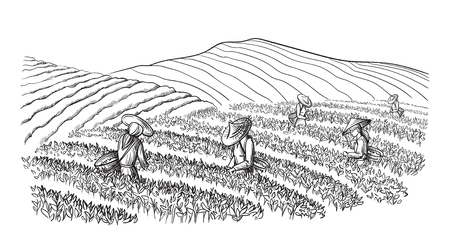 A woman in traditional clothes collects tea leaves on a a tea plantation, fields. Tea Picker. Hand-drawn vector illustration line sketch 일러스트