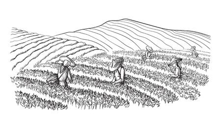 Una donna in abiti tradizionali raccoglie foglie di tè sulla piantagione di tè aa, campi. Selettore del tè. Illustrazione vettoriale disegnata a mano schizzo di linea Vettoriali