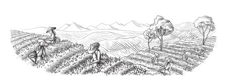 Una donna in abiti tradizionali raccoglie foglie di tè sulla piantagione di tè aa, campi. Selettore del tè. Illustrazione vettoriale disegnata a mano schizzo di linea