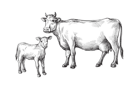 sketches of cows and calf drawn by hand. livestock cattle animal grazing  vector illustration Vectores