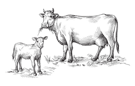sketches of cows and calf drawn by hand. livestock cattle animal grazing vector illustration