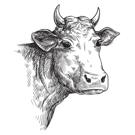 sketches of face cow drawn by hand. livestock. cattle. animal grazing vector illustration