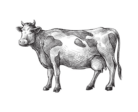 sketches of cow drawn by hand. livestock. cattle. animal grazing vector illustration 일러스트